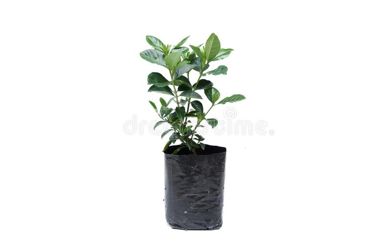 Young green plant in a balck plastic bag. Isolated royalty free stock photo