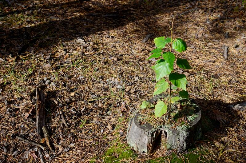Young green plant growing on dead tree trunk, green plant on old stump. The concept of ecology and saving live for the environment. Plant and grow more green royalty free stock photography