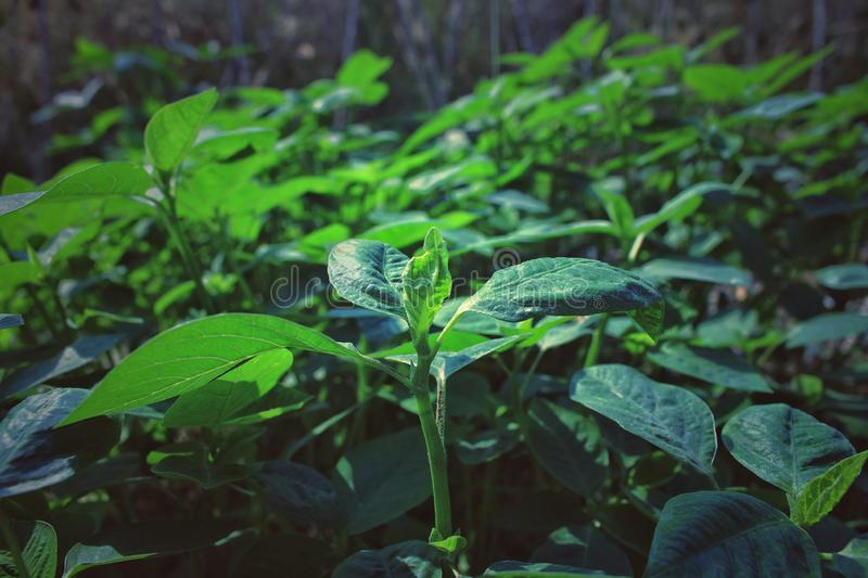 Young green plant growing on farm in the vegetable garden in summer stock photos