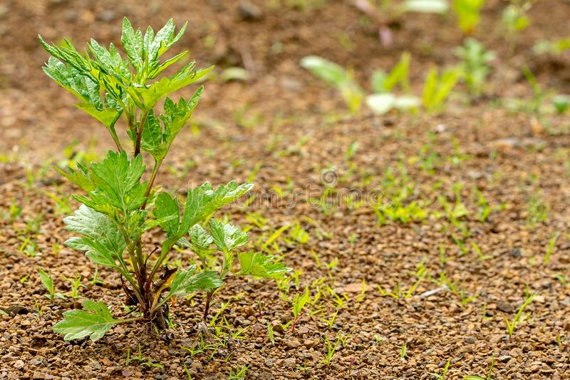 Young green plant grows through the rocky ground royalty free stock image