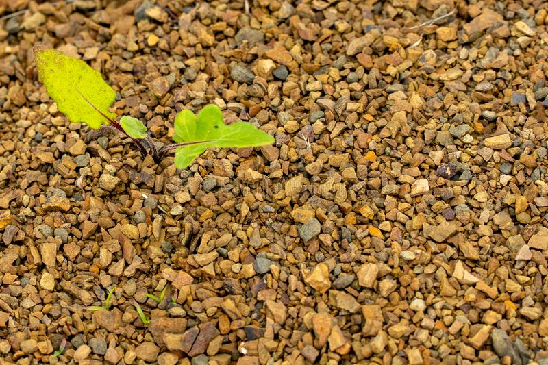 Young green plant grows through the rocky ground royalty free stock images