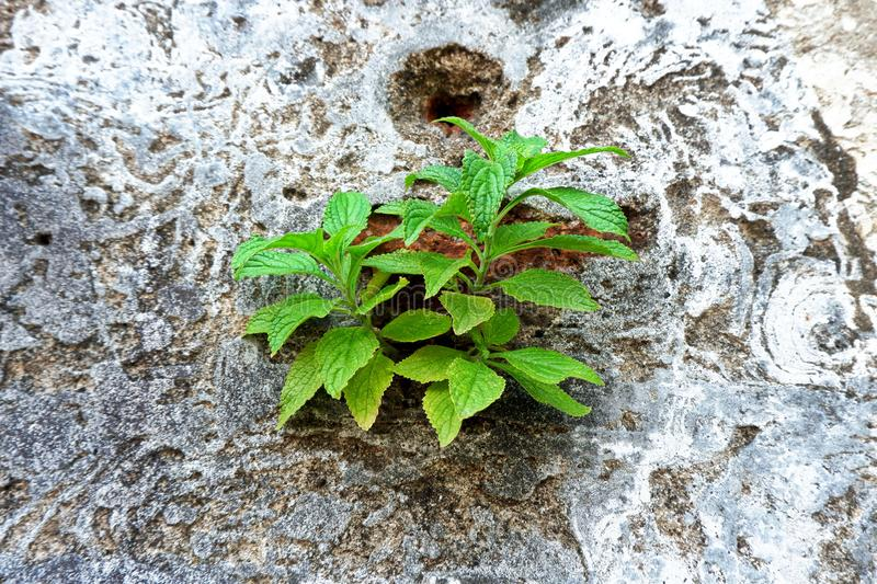 Young Green Plant Growth on the Old Concrete Wall stock photography