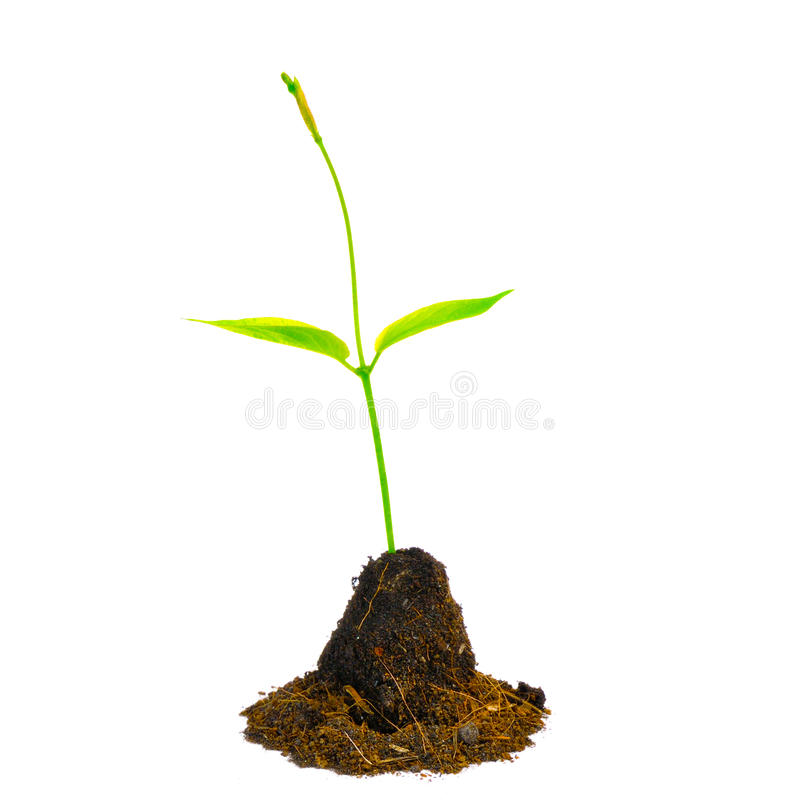 Young green plant isolated on white background. Young green plant isolated on a white background royalty free stock photo