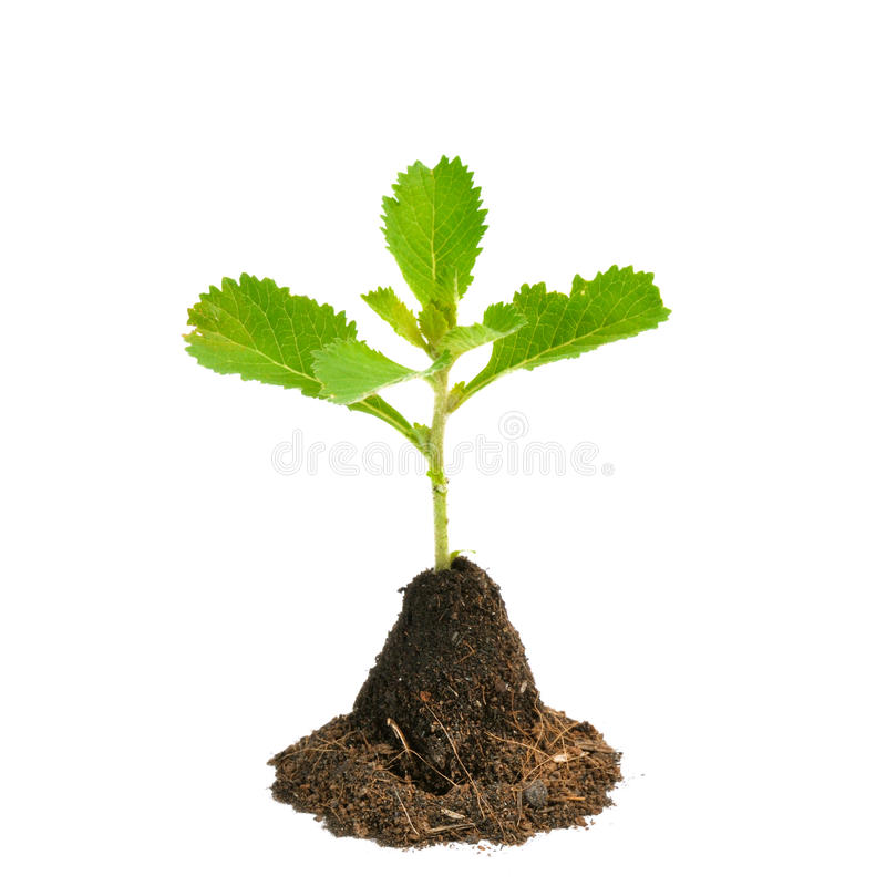 Young green plant isolated on white background. Young green plant isolated on a white background stock images