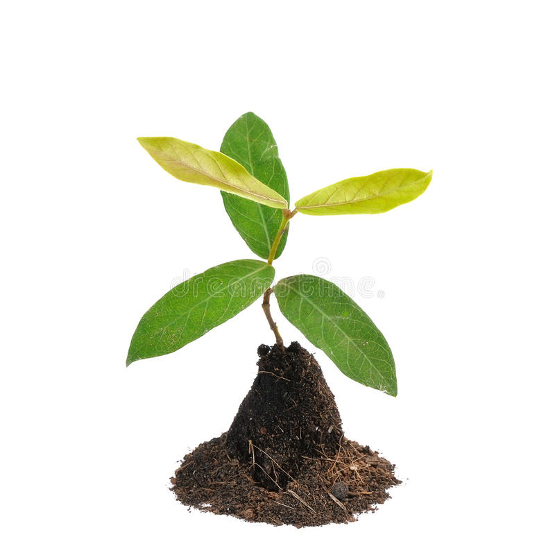 Young green plant isolated on white background. Young green plant isolated on a white background stock photography
