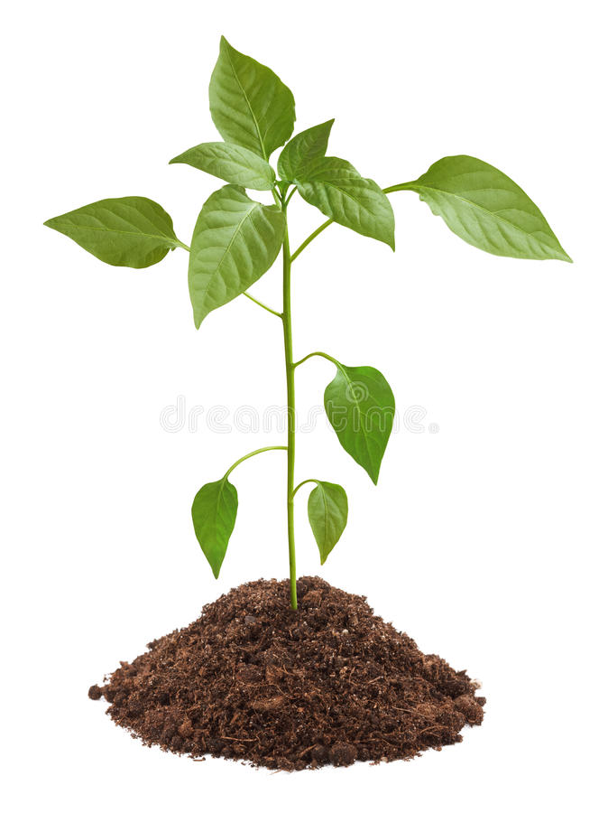 Young green plant in soil. Isolated on white background stock photos