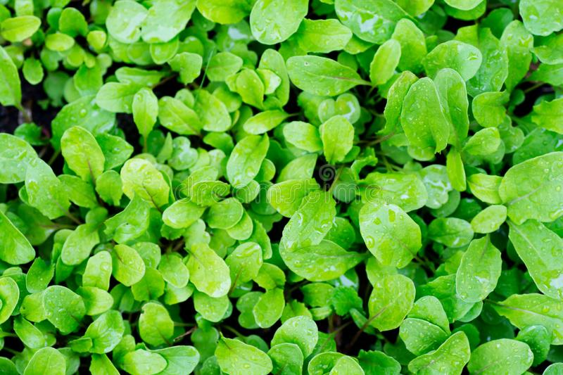 A young, green rucola salad, for dietary nutrition, growing on the bed.  royalty free stock photos