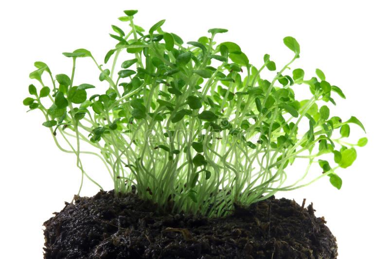 Young green shoots lobeline stock images