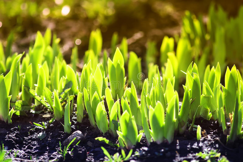 Young green shoots in the spring make their way from the ground stock images