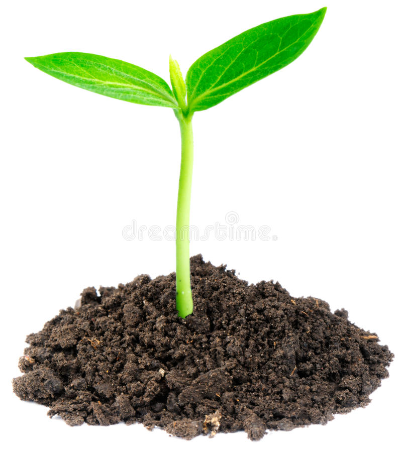 Young green sprout royalty free stock photos