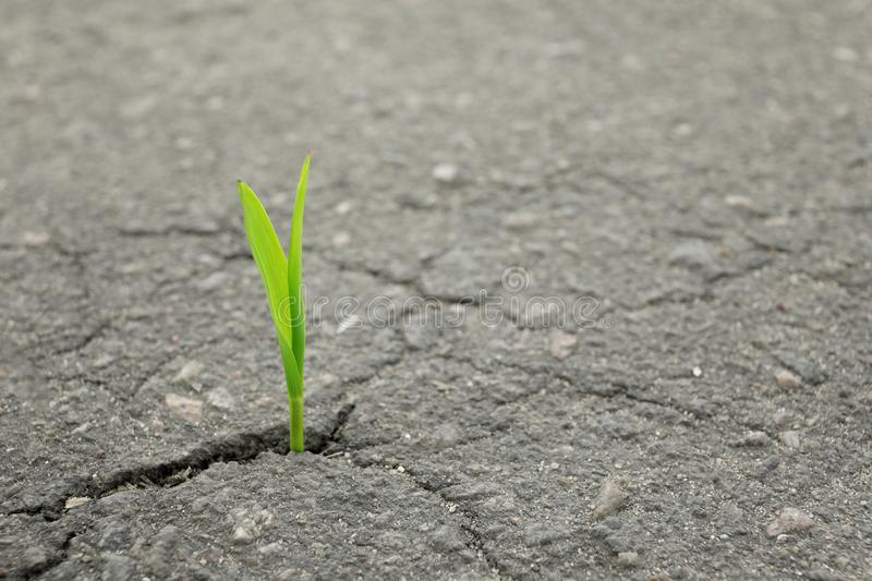 Young green sprout growing from crack in asphalt stock images