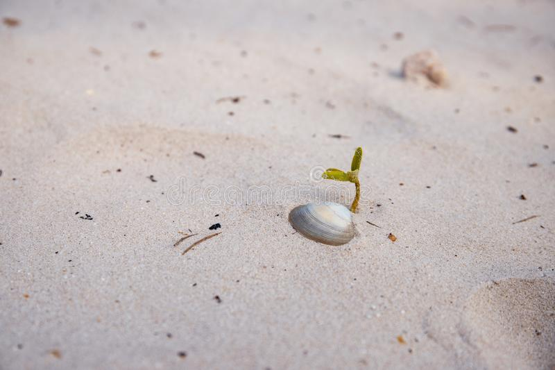 Young green sprout and shell on white sand beach. Tropical seaside nature macro photo. Summer vacation banner template. Fresh sapling of tree. Sea sand closeup stock photos