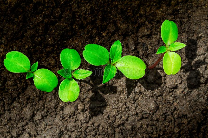 Young green sprout with water drop growing up from soil partly in shade and partly in light, environmental concept stock photo
