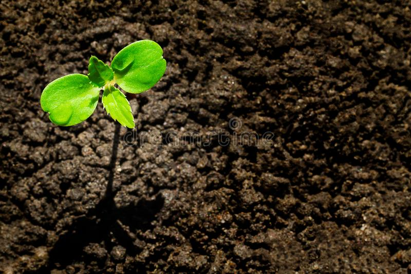 Young green sprout with water drop growing up from soil partly in shade and partly in light, environmental concept stock photography