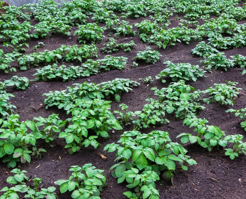 Young green sprouted potato shoots in the garden royalty free stock images
