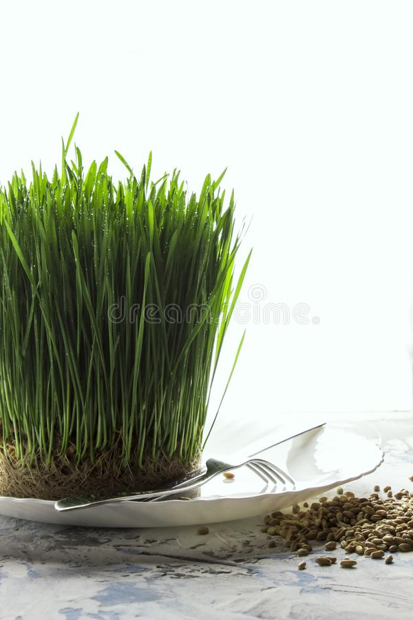 Young green sprouted wheat sprouts on a plate with a fork and knife on a white background. Organic product stock photography