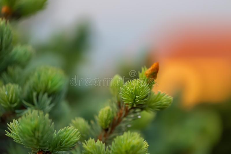Young green spruce branch in spring time in the garden. Nature blurred beautiful background. An overly shallow depth of field. royalty free stock photo