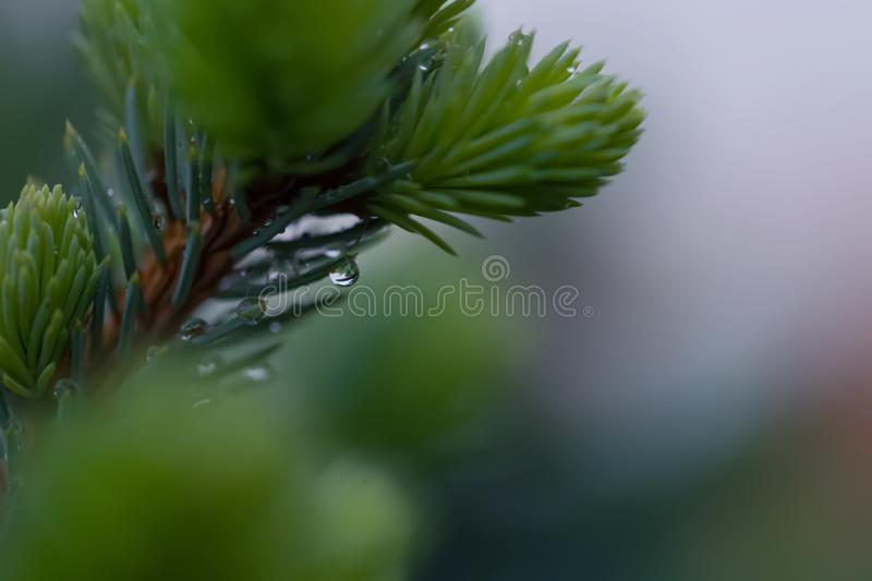 Young green spruce branch in spring time in the garden. Nature blurred beautiful background. Raindrops. Shallow depth of field. stock photo