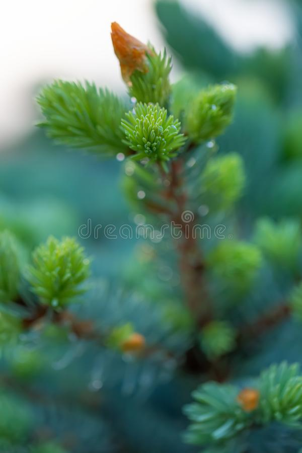 Young green spruce branch in springtime in the garden. Nature blurred beautiful background. An overly shallow depth of field. royalty free stock photography