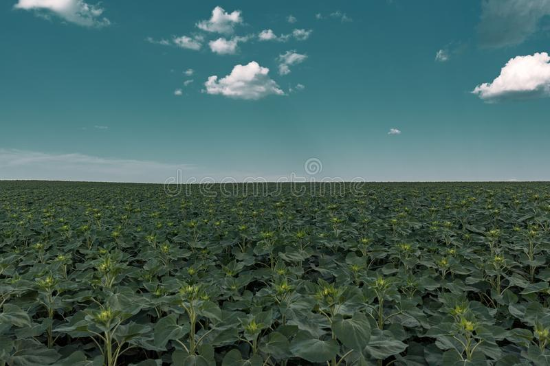 Young green sunflower plants. Field young sunflower. Blue sky with feathery clouds royalty free stock photography