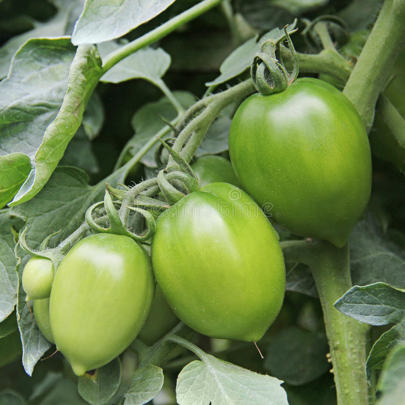 Young green tomatoes in the field stock photos