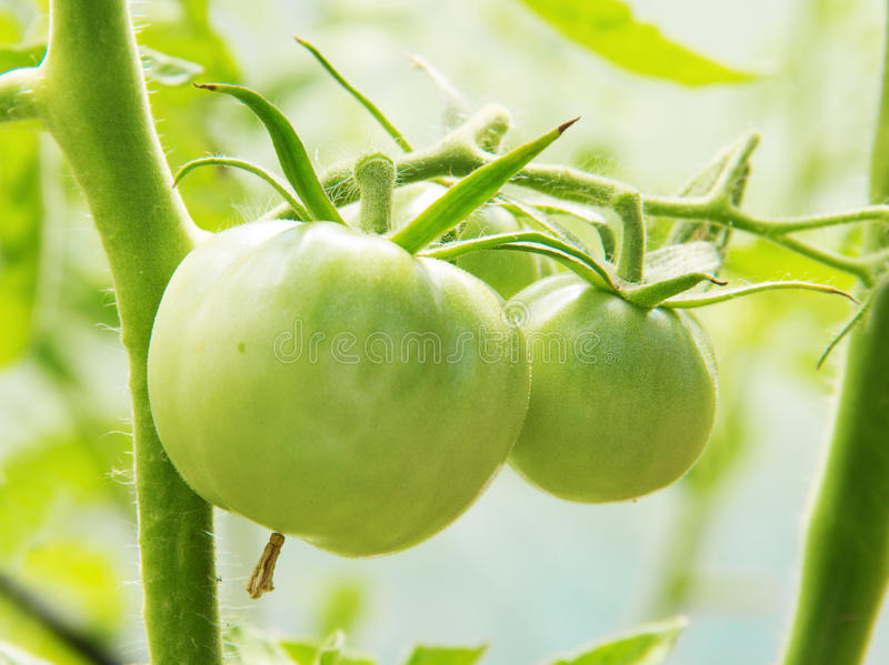 Young green tomatoes in the garden stock photos