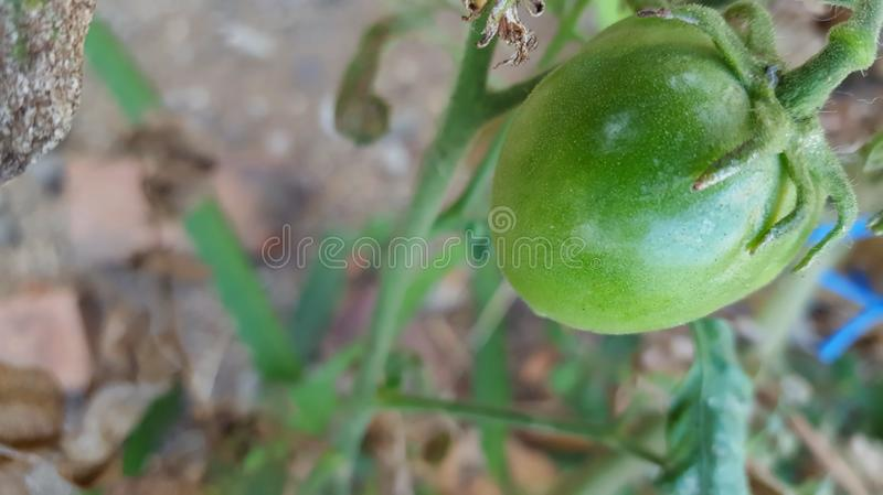 Young green tomatoes, one of the fruits included in the vegetable and fruit category. And is an ingredient in vegetarian cooking stock photo