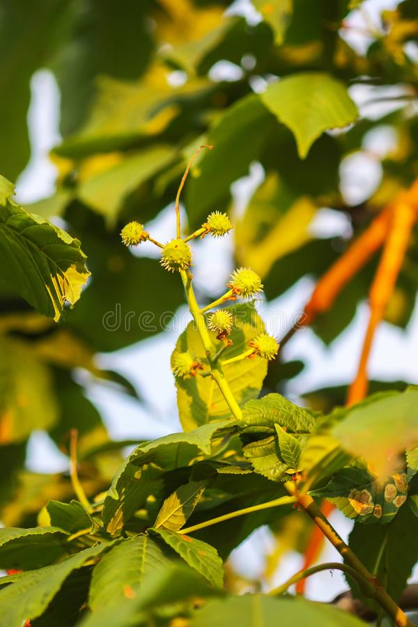 Young green unripe prickly chestnuts on tree branch royalty free stock photos