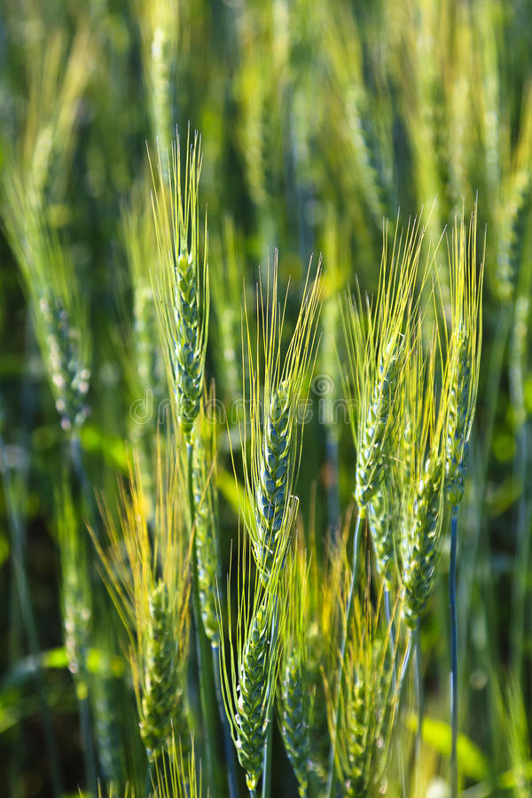 Young Green Wheat Field stock photo