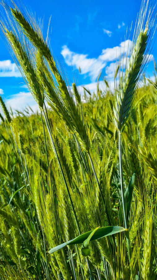 Young green wheat-field against the blue sky royalty free stock photography