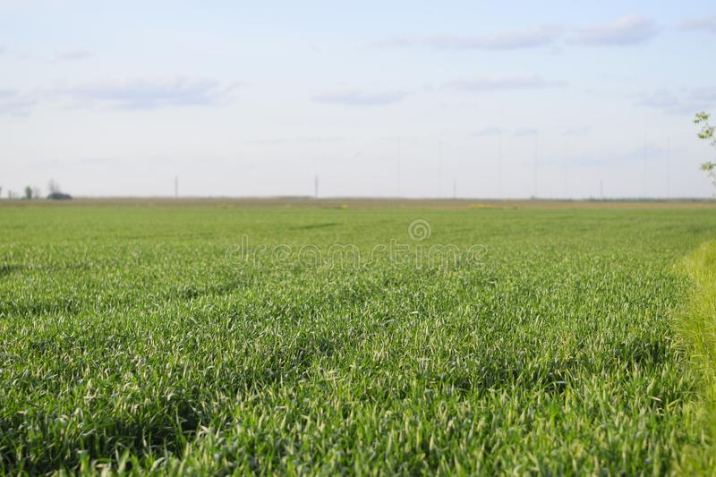 Young green wheat field royalty free stock photos