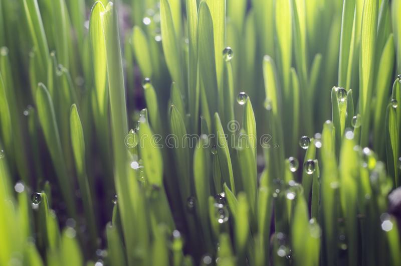 Young green wheat grass sprouts with water drops on the sun.  stock image