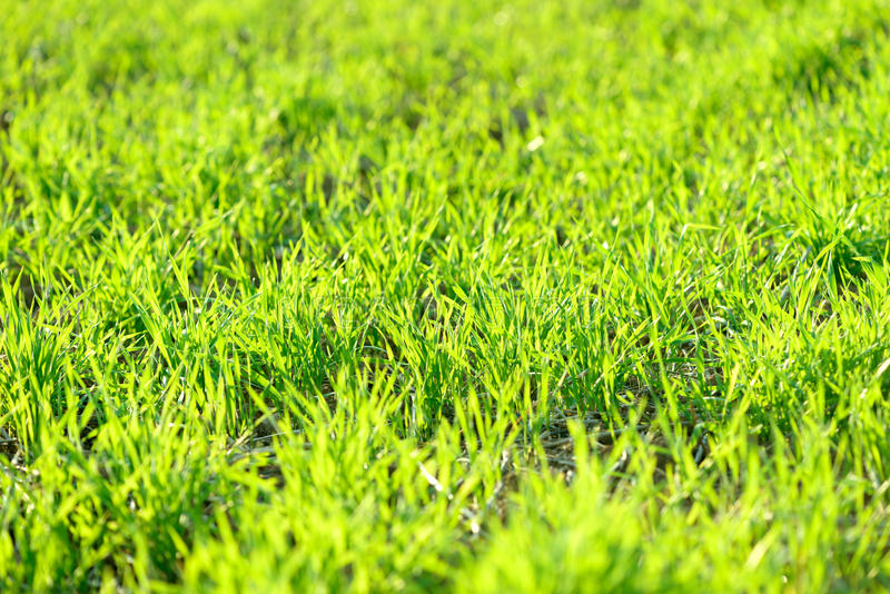 Young green wheat winter crops field background sunny and vibrant royalty free stock photography