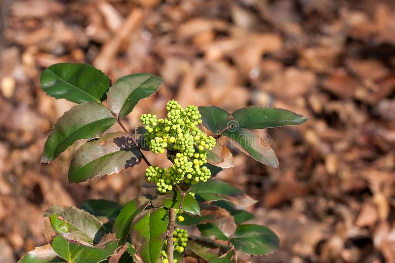 Young flower buds on holly/ilex bush in the springtime sun. Young greenish flower buds on holly/ilex twig with green leaves on a sunny springtime day stock image