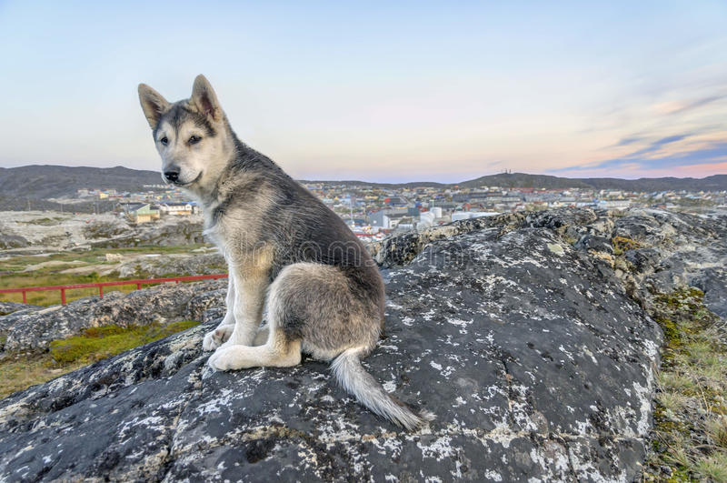 Young Greenland Husky sitting in front of Ilulissat. The Greenland Dog (also known as Greenland Husky) is a large breed of husky-type dog kept as a sled dog and stock image