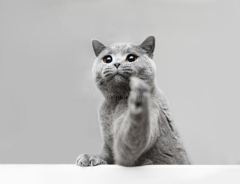 Young grey cat playing, raising his paw. Purebred domestic animal. British shorthair royalty free stock photo