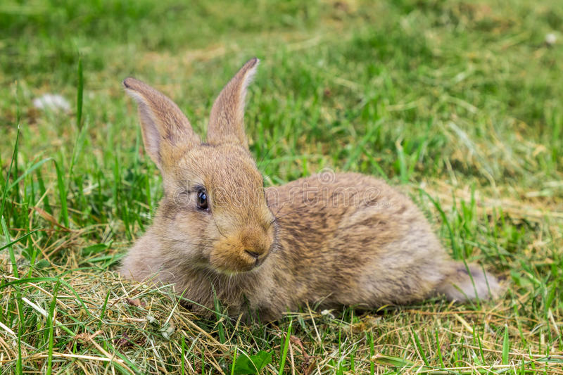 Young grey rabbit on grass. royalty free stock photography
