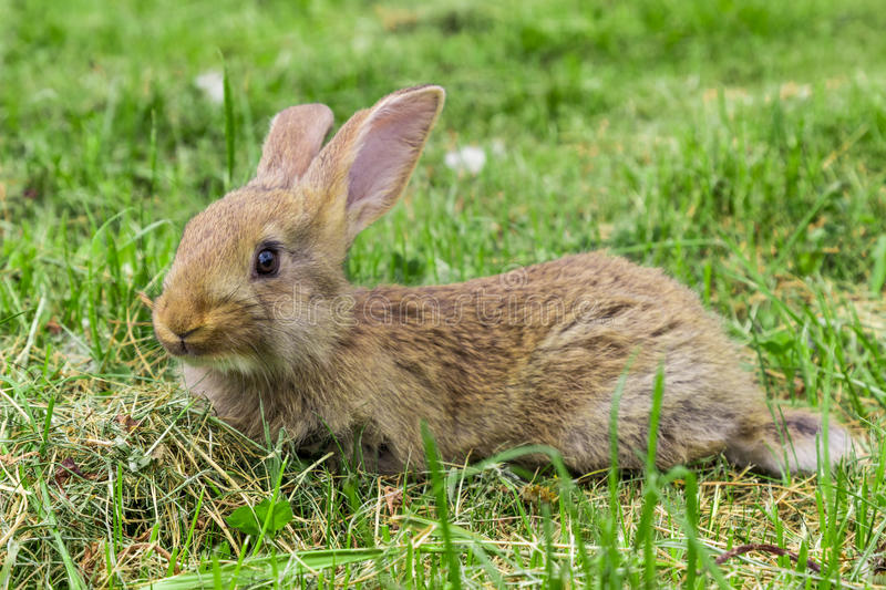 Young grey rabbit is lying on grass. royalty free stock images