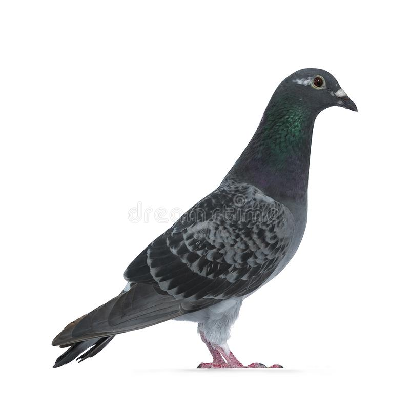 Young grey Racing Pigeon on white background royalty free stock photography