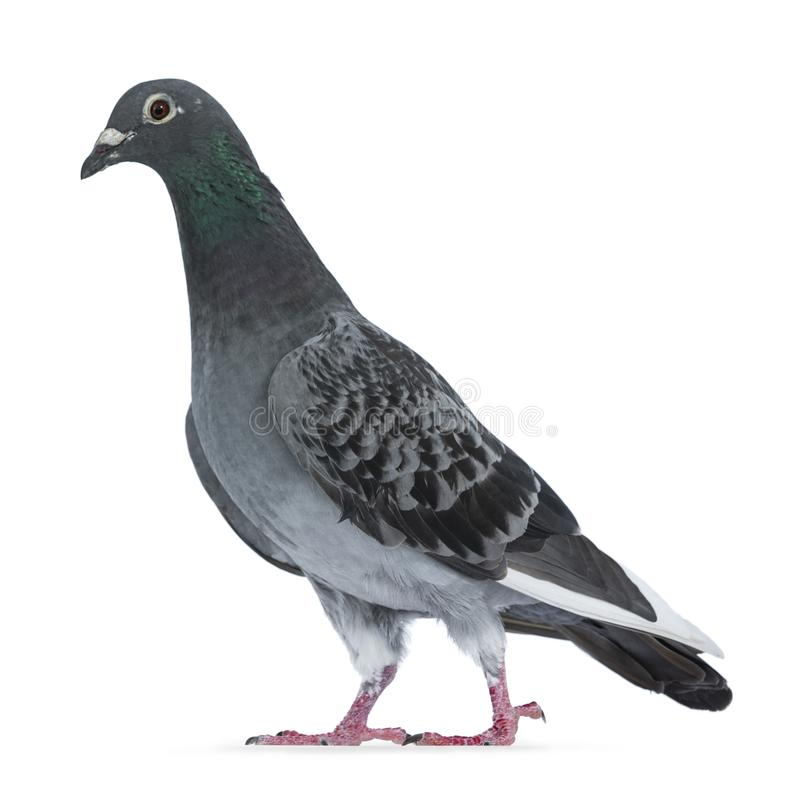 Young grey Racing Pigeon on white background royalty free stock photos