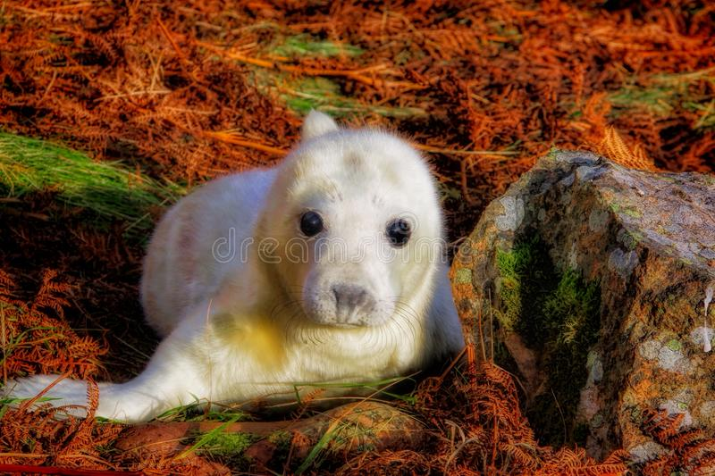 Young grey seal pup in late autumn bracken royalty free stock photography