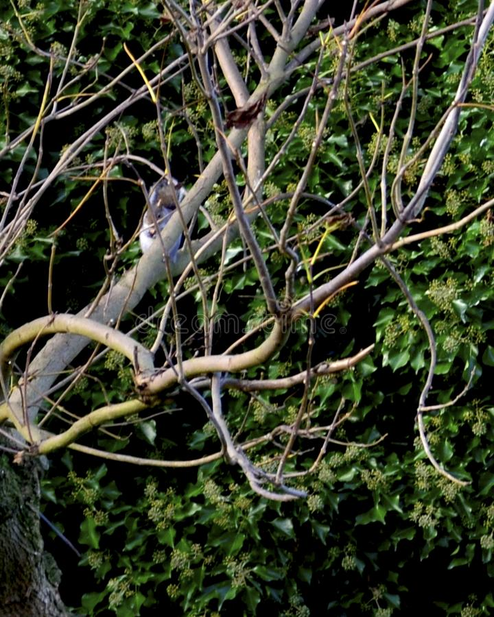 Young grey squirrell in bare tree branches royalty free stock photos