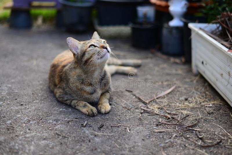 A Young grey tabby cat looking to the sky and resting on the Cement floor. The Young grey tabby cat looking to the sky and resting on the Cement floor stock images