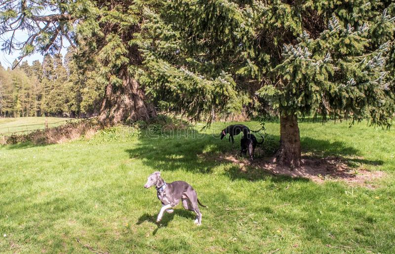 A beautiful Grey Whippet Runs in the Woods stock photo