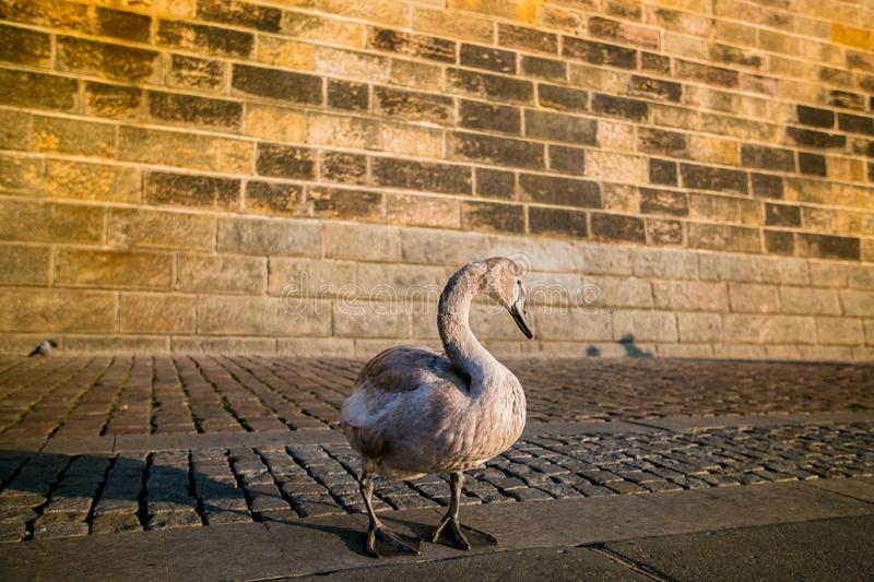 Young grey and white mute swan standing on cobble stone. Riverbank, stone wall in background, Prague, Czech Republic, warm red colored sunset light stock photo