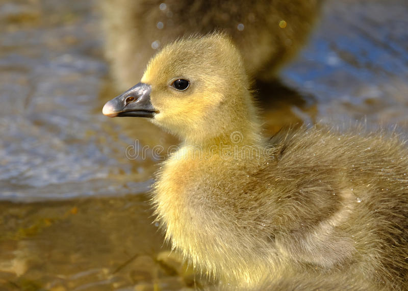 Young Greylag Goose chick. Young Greylag Goose chick at a lake in Yorkshire, UK stock image