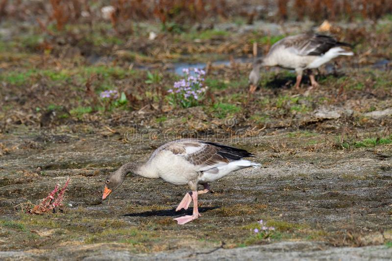 Young greylag goose looking for food. In sweden in fall royalty free stock photography