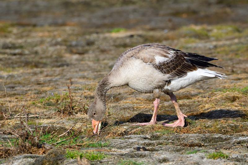 Young greylag goose looking for food. In sweden in fall stock images
