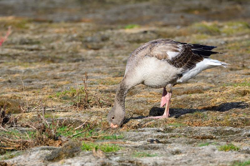 Young greylag goose looking for food. In sweden in fall royalty free stock image