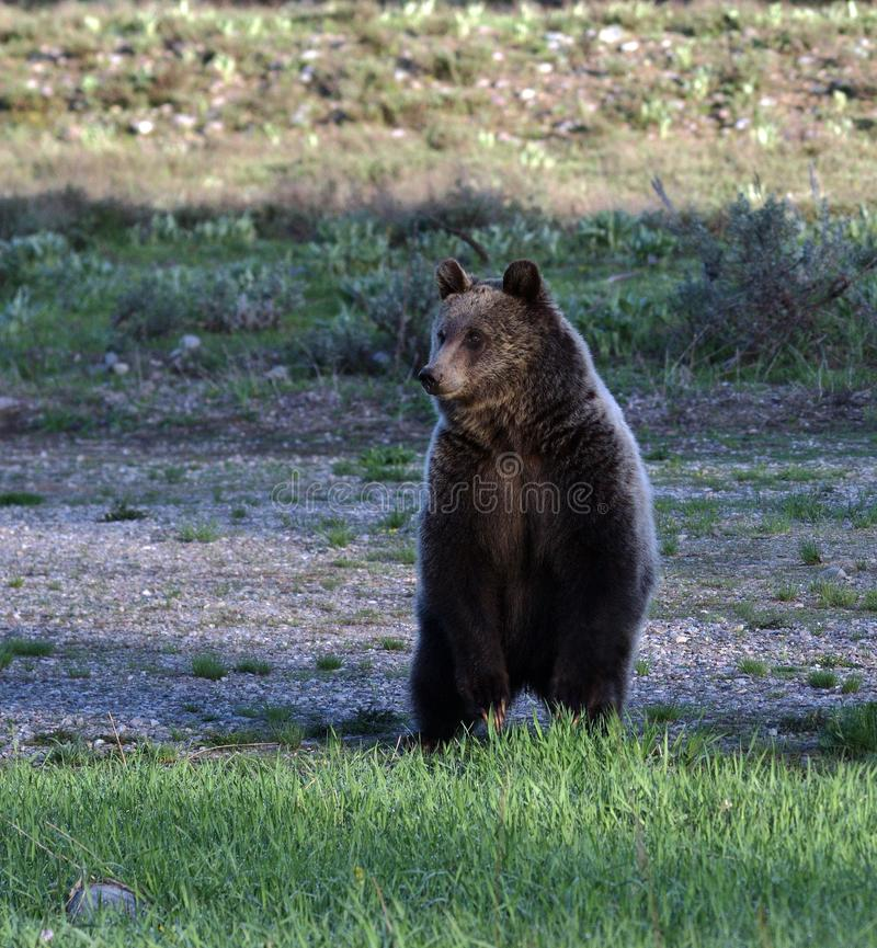 Grizzly rising at dawn stock photo